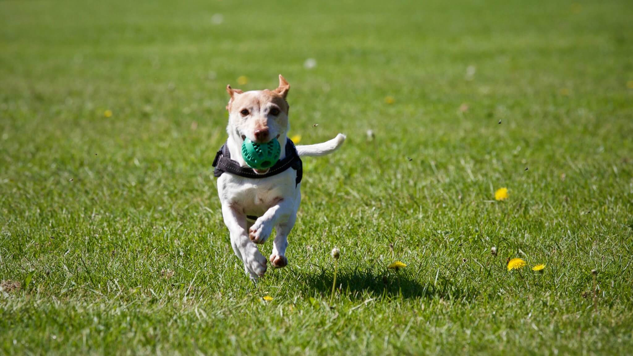 Dog running across lawn with ball