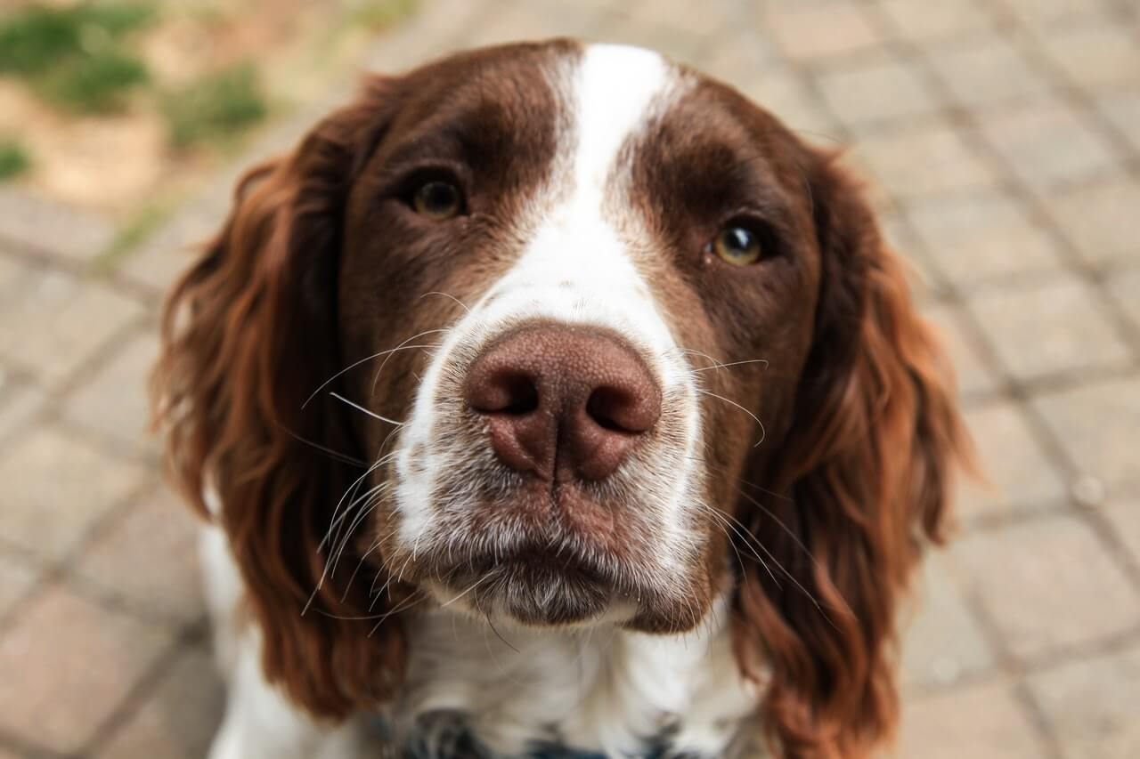 springer spaniel close up