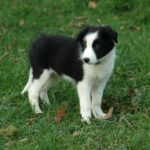 Border Collie pup on grass