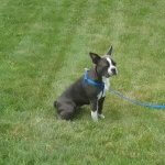 Boston Terrier in sit stay
