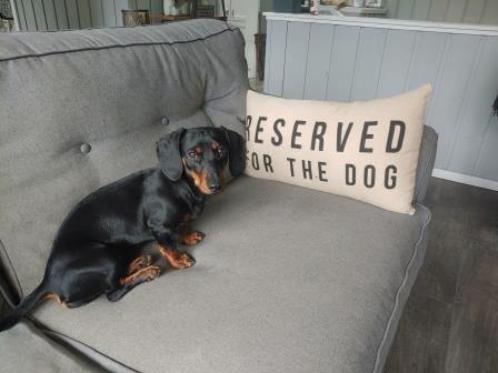 dachshund sitting on couch