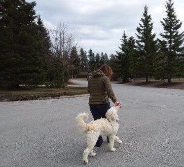 training goldendoodle on leash